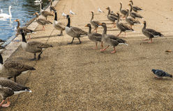 Geese walking in Hyde Park Stock Image