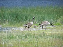 Geese walking on shore Stock Photography