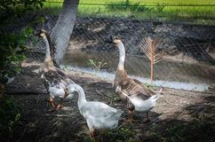 Geese walking together inside cage stock images