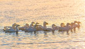 Geese on the pond at sunset. royalty free stock image