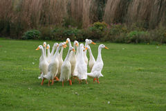 Geese Wandering in a Group Stock Image