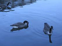 Geese in water Royalty Free Stock Images