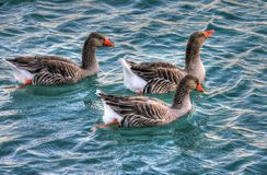 Geese, Water, Birds, Waterfowl Stock Photo