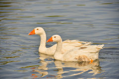Geese on the water Royalty Free Stock Photography