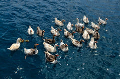Geese in the water Stock Photos