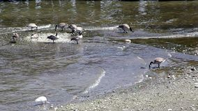 Geese stock footage