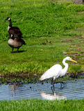 Geese and white egret Stock Photos