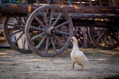 Geese. White goose walking on farmyard Royalty Free Stock Photos