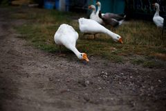 Geese. White and gray geese on a farm Stock Photos