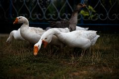 Geese. White and gray geese on a farm Stock Images