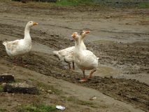 Geese. White geese out for a walk on muddy country road Royalty Free Stock Photos