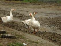 Geese. Royalty Free Stock Photos