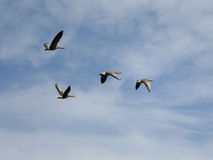 Geese on the wing Stock Images