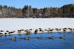 Geese at Winter Royalty Free Stock Images
