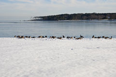 Geese on winter snow covered shore Royalty Free Stock Images