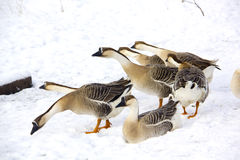 Geese. Winter. Snow. Royalty Free Stock Photo