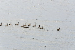 Geese on Yellowstone Lake Royalty Free Stock Photography