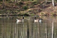 ` Geesen ` Dwa Kanadyjskie gąski pozuje dla portreta na jeziorze fotografia royalty free