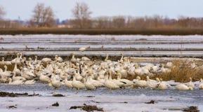 Geeses снега ослабляя в полях перед идти вверх северно стоковое изображение rf