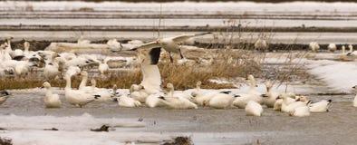 Geeses снега ослабляя в полях перед идти вверх северно стоковая фотография rf