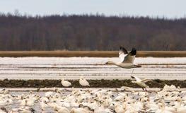 Geeses снега ослабляя в полях перед идти вверх северно стоковые изображения rf