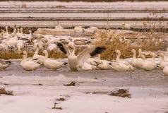 Geeses снега ослабляя в полях перед идти вверх северно стоковое изображение