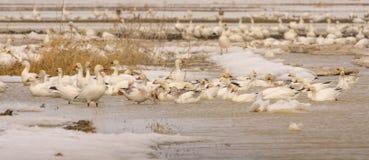 Geeses снега ослабляя в полях перед идти вверх северно стоковая фотография
