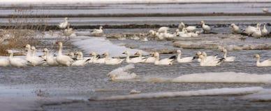Geeses снега ослабляя в полях перед идти вверх северно стоковые изображения
