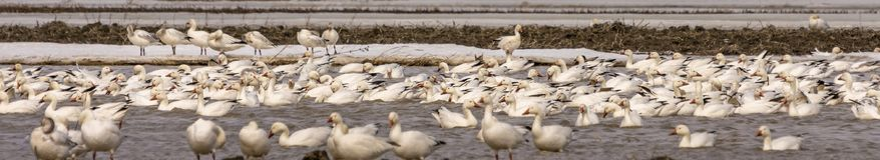 Geeses снега ослабляя в полях перед идти вверх северно стоковые фотографии rf