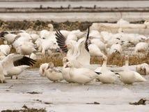Geeses снега ослабляя в полях перед идти вверх северно стоковое фото
