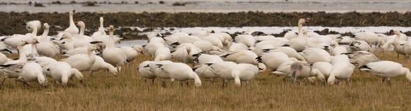 Geeses снега ослабляя в полях перед идти вверх северно стоковое фото rf