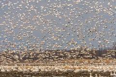 Geeses da neve que descolam para ele a migração foto de stock