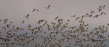 Geeses de neige décollant vers l'Arctique photo libre de droits