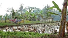 Geeses está no terraço do arroz perto de Ubud em Bali video estoque