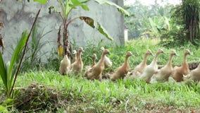 Geeses está no terraço do arroz perto de Ubud em Bali filme