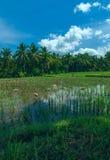 Geeses sind auf dem Reisfeld Stockbild