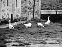 Geeses sur un village en noir et blanc photos libres de droits