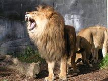 geeuw leeuw Royalty-vrije Stock Foto's