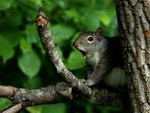 Geeuw oostelijke grijze eekhoorn Royalty-vrije Stock Foto's