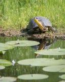 Gefährdete Blanding-` s Schildkröte in Don River Valley, Toronto lizenzfreie stockfotos