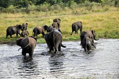 Gefährdete Elefant-Herden - Simbabwe Stockfoto