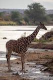 Gefährdete retikulierte Giraffe in dem Fluss in Kenia, Afrika lizenzfreie stockfotografie