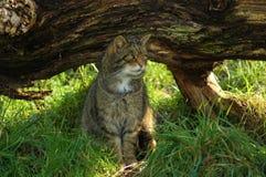 Gefährdete schottische Wildkatze Stockbilder