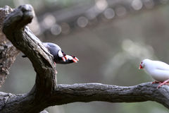 Gefährdete Vögel --- Java-Spatz  Lizenzfreies Stockbild