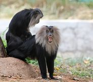 Gefährdeter, endemischer indischer Affe Löwe-angebundener Macaque Stockfotografie