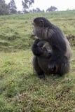 Gefährdeter goldener Affe mit Baby, Vulkan-Nationalpark, Rwa Lizenzfreie Stockbilder