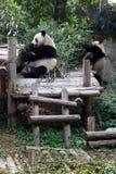 Gefährdeter Panda, der Bambus isst Stockfotografie