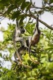 Gefährdeter roter Colobusaffe Sansibars (Procolobus-kirkii), Joza Lizenzfreie Stockfotos