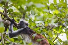 Gefährdeter roter Colobusaffe Sansibars (Procolobus-kirkii), Joza Stockfotografie