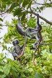 Gefährdeter roter Colobusaffe Sansibars (Procolobus-kirkii), Joza Stockbilder